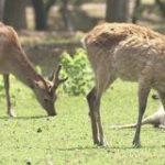 奈良公園のシカが野生化?コロナで観光客が減って… | NHKニュース