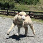 淡路島に「2本足で立つマッチョな羊」がいるらしい「もうそうとしか見えない呪いにかかってしまった…」 – Togetter
