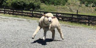 淡路島に「2本足で立つマッチョな羊」がいるらしい「もうそうとしか見えない呪いにかかってしまった…」 - Togetter