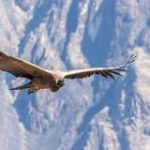 飛ぶ鳥の中で最も重いコンドルは「1回も羽ばたかず」に170キロも飛行することができる – GIGAZINE