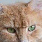 猫さんの『耳先のピンッとした毛』にはリンクスティップという名前があった→みんなの耳毛画像で比較がはかどる「日本語だと房毛」 – Togetter