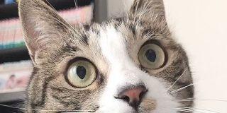 狩る気まんまんで猫じゃらしを見つめる猫さんの瞳孔が大きくなったり小さくなったり…「こんなに激しく動くの初めて見た」 - Togetter