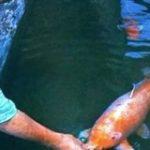 生まれは江戸時代!226歳まで生きた史上最古の日本の鯉 | ナゾロジー