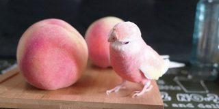 「桃で小鳥を作ったのかと」どこからどうみても桃にしか見えない…アキクサインコが桃に似ていると話題に - Togetter