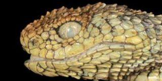 アフリカの孤島で「ドラゴンみたいな猛毒ヘビ」を新発見!学名は「研究者が好きなヘヴィメタバンド」に由来 | ナゾロジー