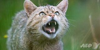 スイスのヤマネコ、「セクシーすぎて」絶滅の危機 研究:AFPBB