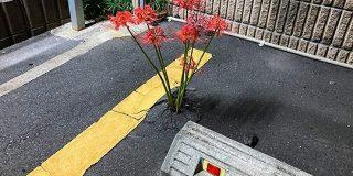 アスファルトを裂いてコインパーキングに彼岸花が咲いてた「狂気芽生えて好き」「死を思わせる花なのに生きる気力が満ち満ち」 - Togetter