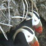 海鳥エトピリカ、減少止まらず 数つがいに、保護団体「手遅れ」 | 共同通信