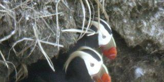 海鳥エトピリカ、減少止まらず 数つがいに、保護団体「手遅れ」   共同通信