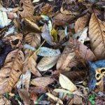 全然わからん…この画像の中に葉っぱに擬態した蛾「アケビコノハ」が9匹もいるらしいけどマジでわからん – Togetter