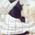 飼い主が猫初心者だったばかりに『寝るときはお布団をかける』というとても人間ぽい文化に染まってしまった猫さん「自分でかけて寝る」 – Togetter