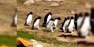 ペンギンの群れがすれ違うとどうなるのか?学芸員が撮影した映像に社会が感じられて面白い「最後の二羽が良い」 - Togetter