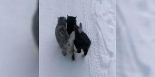 身を寄せ合いながら雪道を歩く2匹の猫さんが可愛すぎる「この後、暖かいところで丸まっていますように」 - Togetter