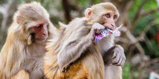 サルは人間と同様に「もう回収できないコスト」につられて判断を誤ってしまう - GIGAZINE