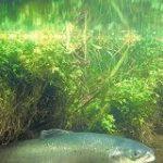 ふ化放流で野生サケの繁殖率低下、利益より悪影響に懸念 アイルランド研究:AFPBB