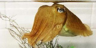 イカには自制心が備わっていることが判明、無脊椎動物では初 - GIGAZINE