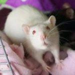 ネズミも他者の痛みを理解できる、ただしおやつが増えると自分を優先する – GIGAZINE