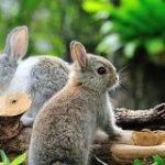 もっと大きなウサギがいない理由を解明 他の草食動物が進化を抑圧していた?(京都大学) – ナゾロジー