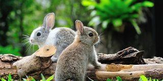 もっと大きなウサギがいない理由を解明 他の草食動物が進化を抑圧していた?(京都大学) - ナゾロジー