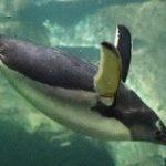 30分も海に潜れるペンギンは血中ヘモグロビンが進化していた – ナゾロジー