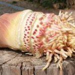 【微閲覧注意】綺麗に掘られたタケノコが王蟲にしか見えない件「竹はすごく根を張る」「お怒りになっておられる…」 – Togetter
