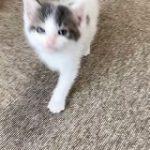 子猫さん『ニャー!(遊んで!)』一生懸命に話しながら追いかけてくる動画にメロメロになる「無敵のニャー」 – Togetter