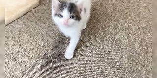 子猫さん『ニャー!(遊んで!)』一生懸命に話しながら追いかけてくる動画にメロメロになる「無敵のニャー」 - Togetter