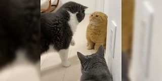 「スゴい…短いお手々で全てのパンチをガードしている」人類よ、これが『鉄壁』だ。猫拳マスターのディフェンスを見よ - Togetter