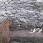 同じ井戸にヒョウとネコが転落 手に汗握る闘いの「予想外の結末」   ネコ科同士の一騎打ち – クーリエ・ジャポン