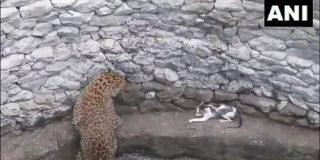 同じ井戸にヒョウとネコが転落 手に汗握る闘いの「予想外の結末」 | ネコ科同士の一騎打ち - クーリエ・ジャポン