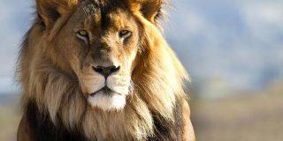 3位カバ、2位ヒト…1位は?「百獣の王・ライオンに勝てる生物ランキングTOP10」 - ナゾロジー
